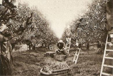ramassage des oranges